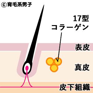 【新発見】抜け毛の原因・メカニズムとコラーゲンと脂肪層の関係-03